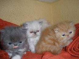 Bellas gatitas persas en venta