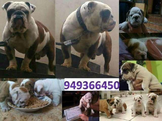 Bulldog ingles full pedigree plata servicio de monta