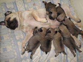 Hermosos perritos pug carlinos en venta 974810510
