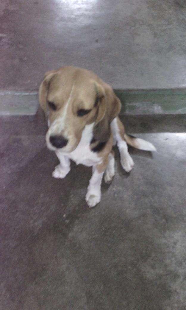 Por viaje vendo perro beagle puppies
