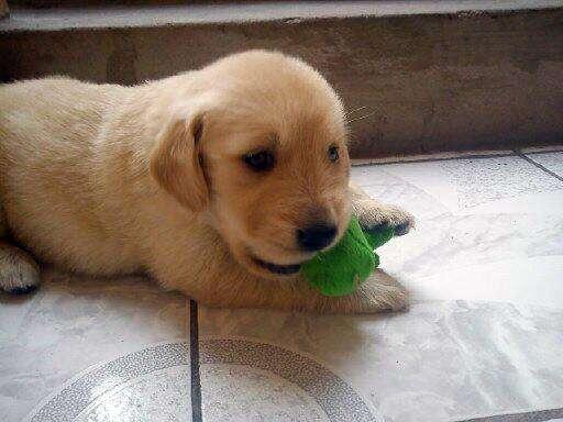 Se venden cachorros golden retriever