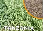 Semillas Panicum Tanzania Importadas De Brasil