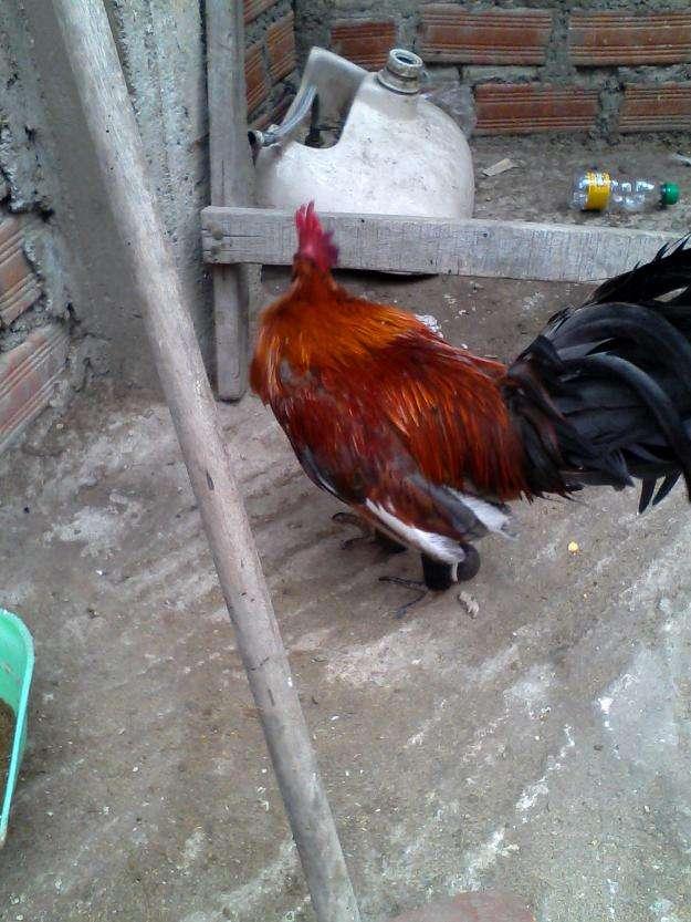 Vendo un gallo chileno