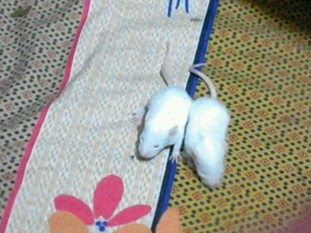 Venta de ratas albinas