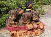 Camada dobermann cachorros