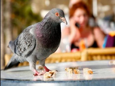 Eliminacion de palomas y pulga de paloma