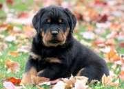 Los cachorros de Rottweiler