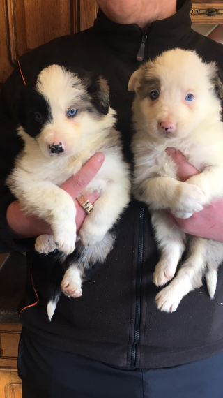 Cachorros hermosos del border collie