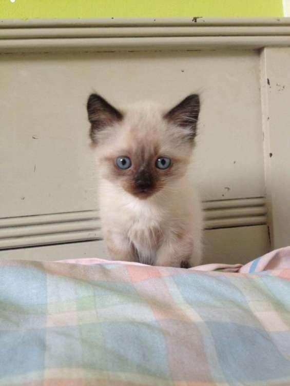 Lindos gatitos siameses, la mascota ideal