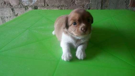 Cachorro hembra de 1 mes