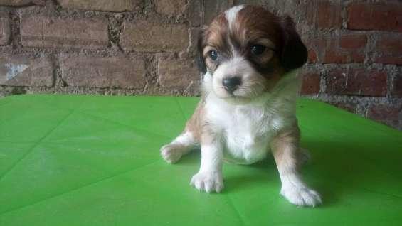 Cachorro macho de 1 mes