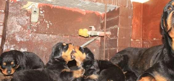 Vendo  rottweiler  cachorros  en lima 945369375